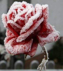 rosa_d_inverno