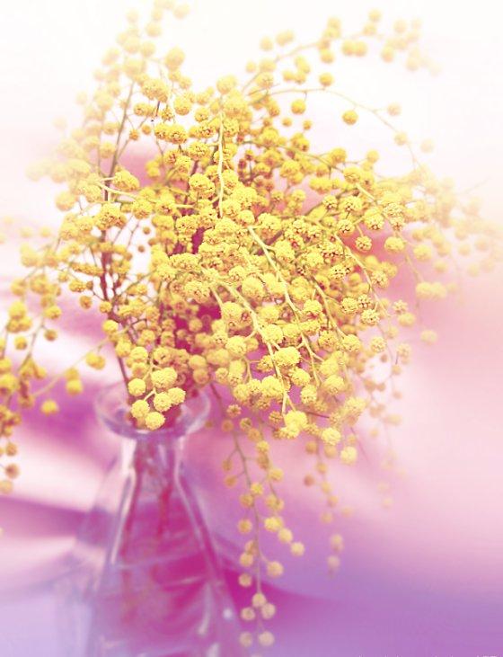 mimosa-8marzo